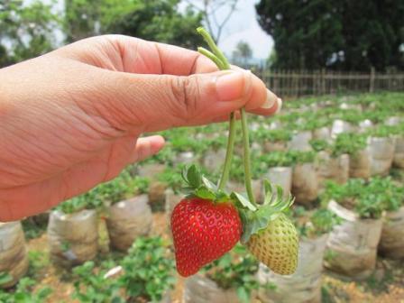 Wisata Agro Kapol Puncak Bogor