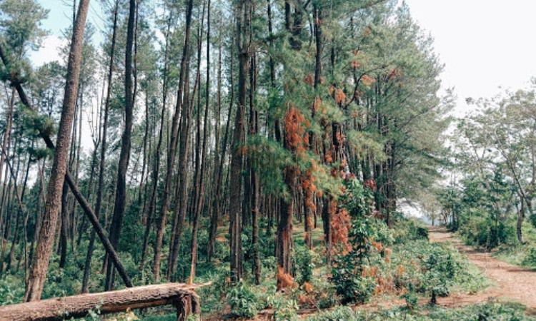 Hutan Pinus Setro Batealit via Google Maps