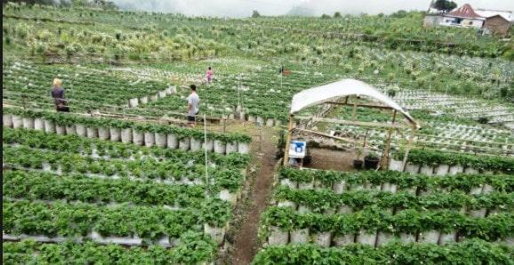 Kebun Strawberry, Karanganyar