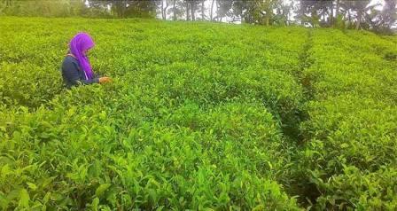 Objek Agro Wisata Kebun Teh Tegal