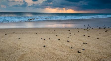 Penangkaran Penyu Hijau di Pantai Pangumbahan
