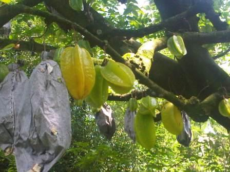 Liburan Asyik ke Agrowisata Belimbing Dewa Depok
