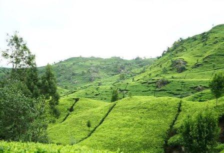 Tempat Wisata Alam Gunung Mas Puncak Cianjur