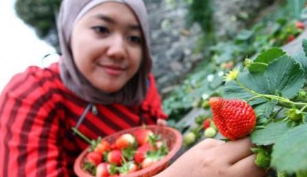 Memetik Strawberry di Tawangmangu