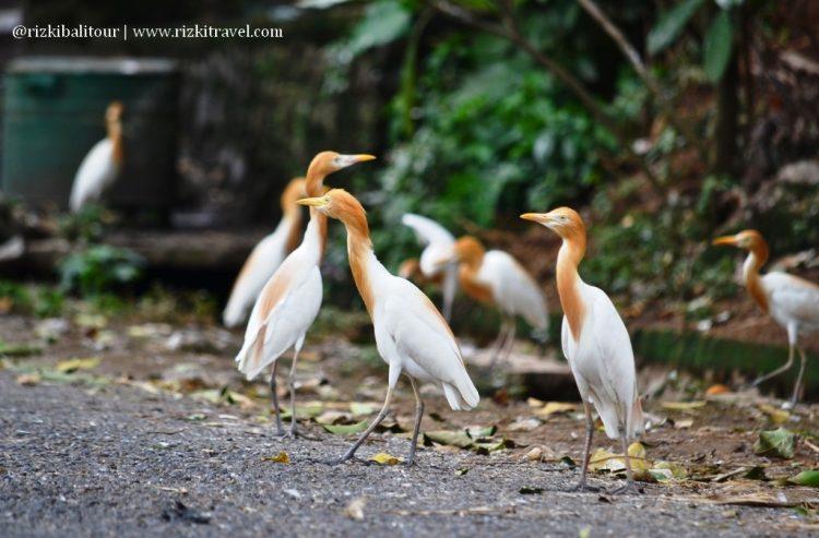 Wisata Desa Petulu via Rizkitravel