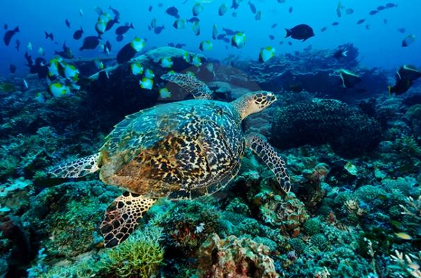 Biota Kaut Kepulauan Derawan Via Telusurindonesia