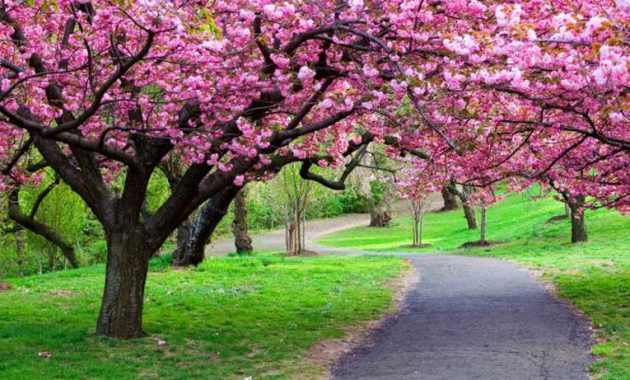 Keindahan Taman Sakura di Kebun Raya Cibodas