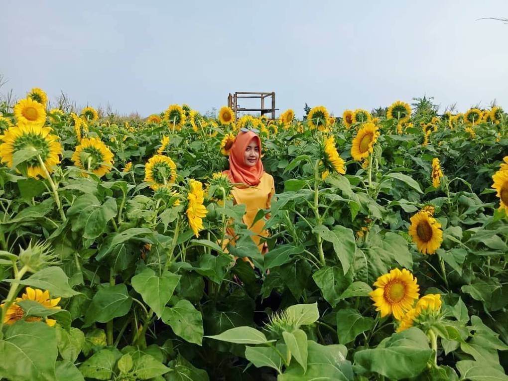 8 Taman Bunga Matahari Paling Hits Yang Wajib Anda Jadikan Tempat Hunting Foto