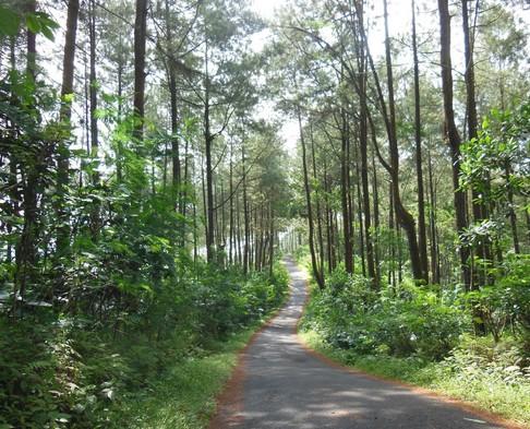 Hutan Pinus di Bener