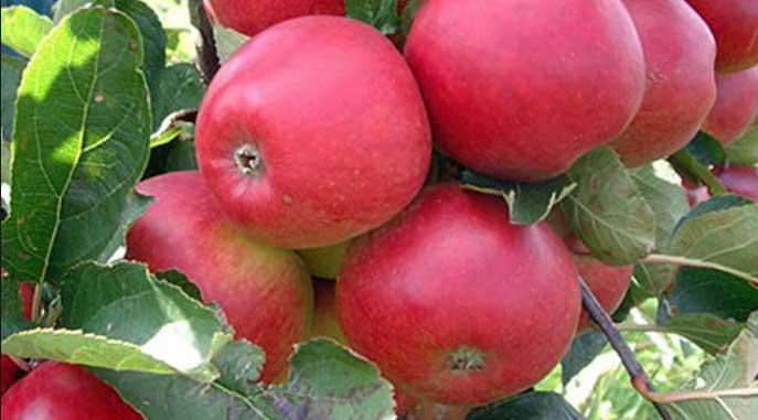 Kebun Apel Khrisna via tkwtaiwan