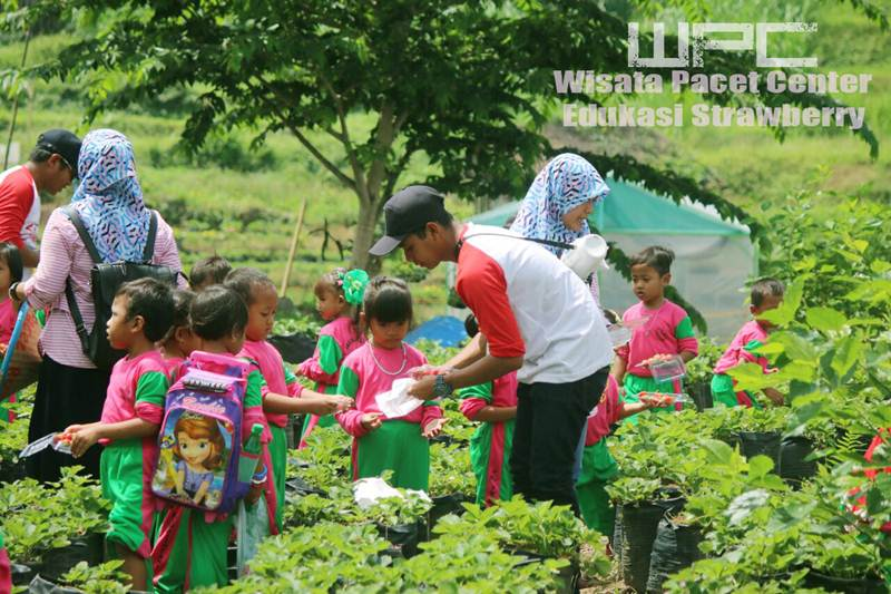Strawberry Farm Pacet