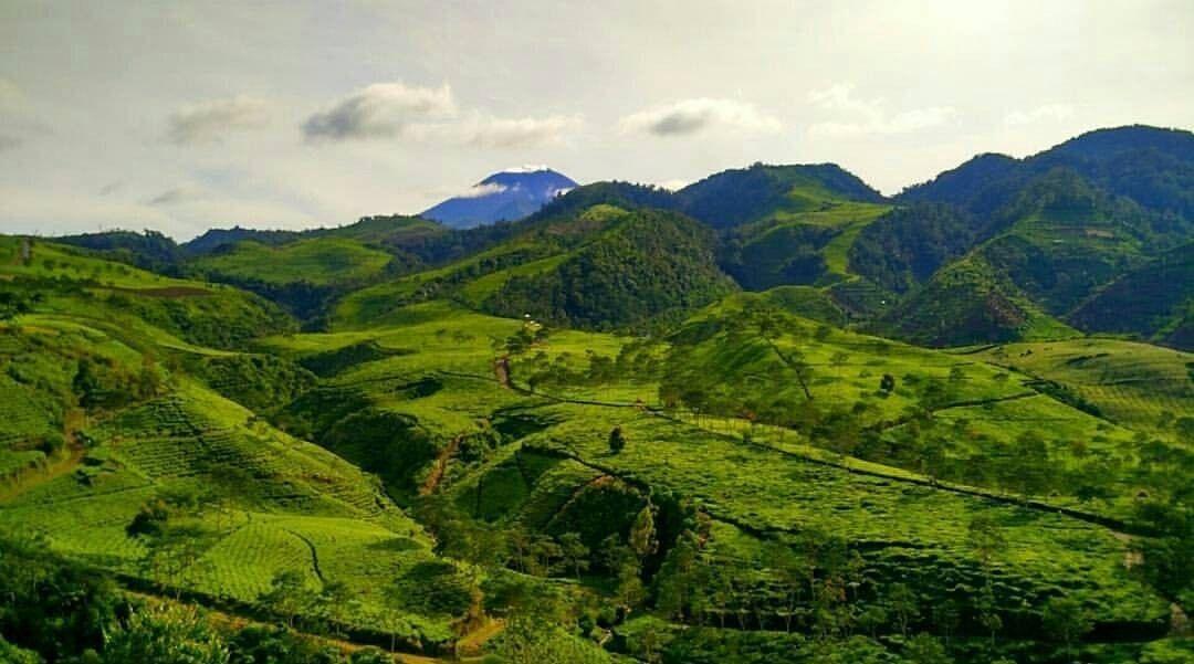 Agrowisata Kebun Teh Kali Gua via @explore_brebes