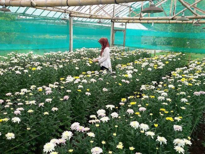 Kebun Bunga Krisan Gerbosari via @desimlysr