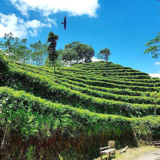 Kebun Teh Nglinggo via @wisatakulonprogoid