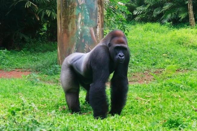 Gorilla Afrika via Indonesiakayacom