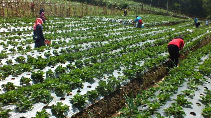 Wisata Agrobisnis Serang via Tribunnews