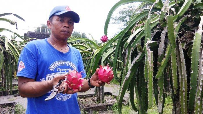 Kebun Buah Naga Pantai Pandansari via Tribunnews