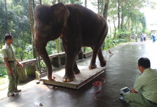 Tempat Penimbangan Gajah