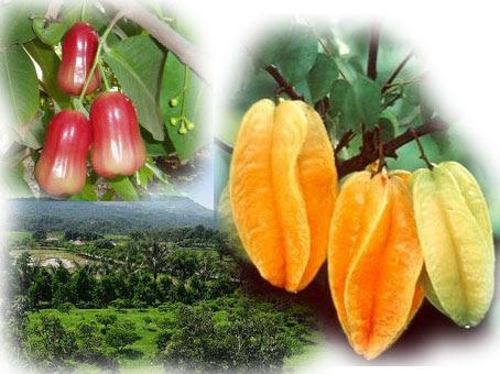 Agrowisata Belimbing dan Jambu Merah Delima via Potensijateng