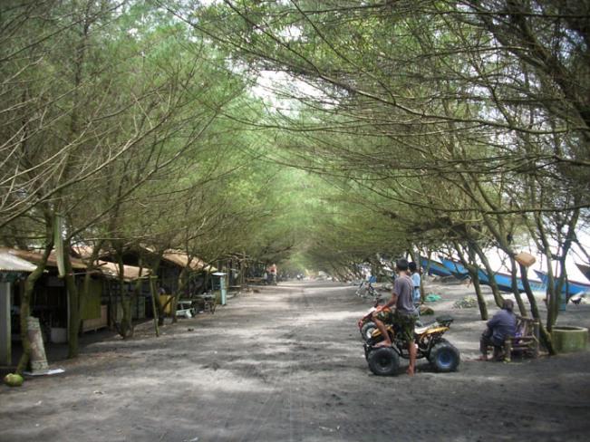Rimbunnya Pohon Cemara di Pantai Kuwaru via Jogjakini.wordpresscom