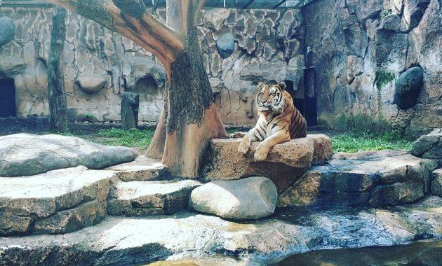 Harimau di Kebun Binatang Bandung via IG @halimanadaniel