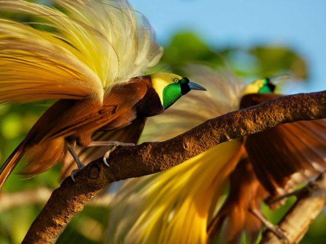 Ilustrasi Burung Cendrawasih