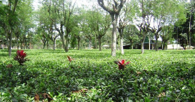 Kebun Teh Semugih via Kabarpemalang