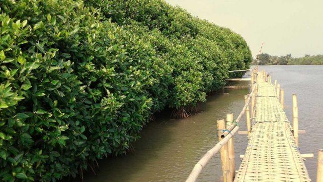 Mangrove Congot Beach