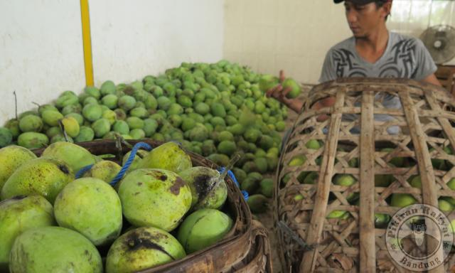 Agrowisata Mangga via Pikiran Rakyat