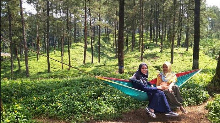 Hutan Pinus Limpakuwus via Tribunnews