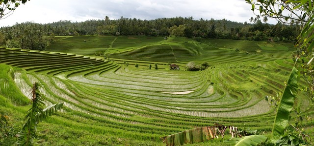 Rice Terrace Ambengan via Epicnesia.blogspotcoid