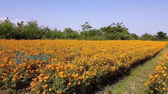 Ladang Bunga Gemitir via Tribunnews