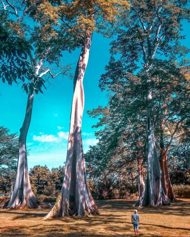 Pohon Purba Pringgabaya via IG @lombokfriendly - tempat wisata di Lombok Timur