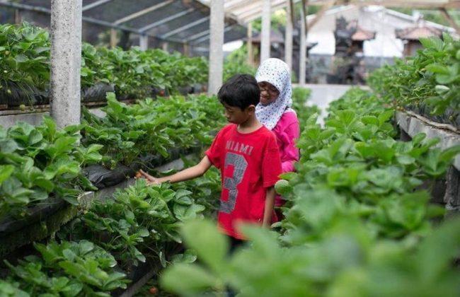 Wisata Kebun Buah Strawberry Bedugul via IG @ninis_warda