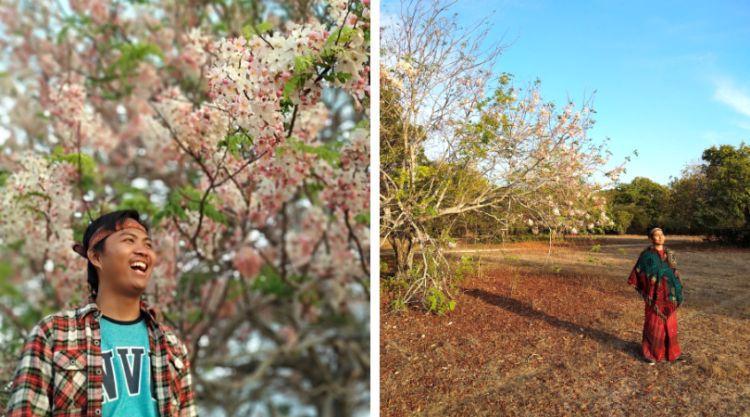 Wisata Bunga Sakura Sumba Timur - Tempat Wisata di Sumba Timur