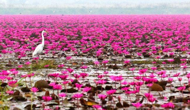 Wisata Danau Lotus via Goodnewsfromindonesia