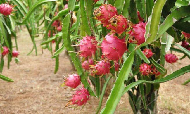 Perkebunan Buah Naga via Sipayo - Tempat wisata di padang sidempuan