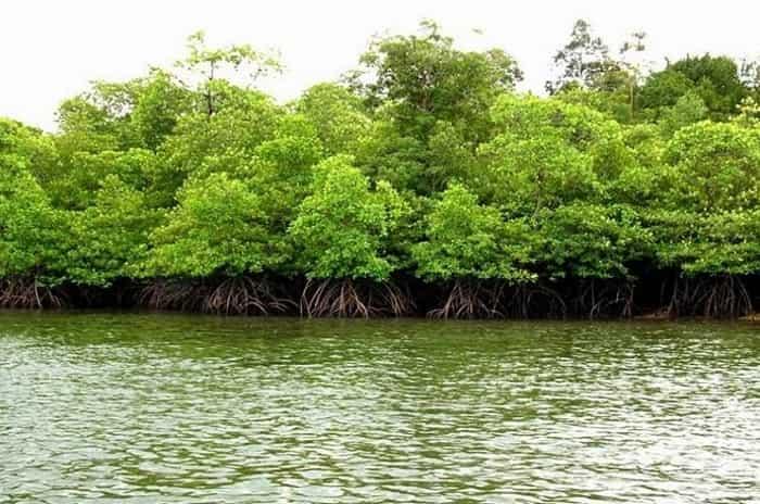 Wisata Hutan Mangrove Di Pantai Impian