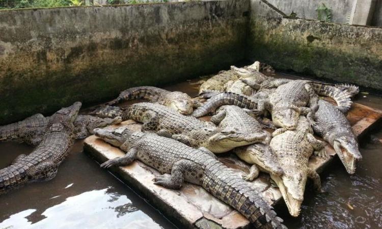 Crocodile Safari via Pegipegi - Tempat Wisata Di Tanjung Jabung Timur