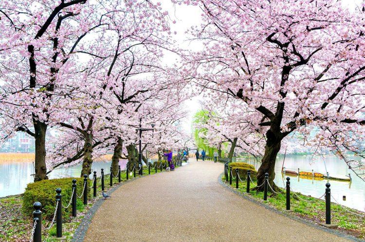 Bunga Sakura di Ueno Park