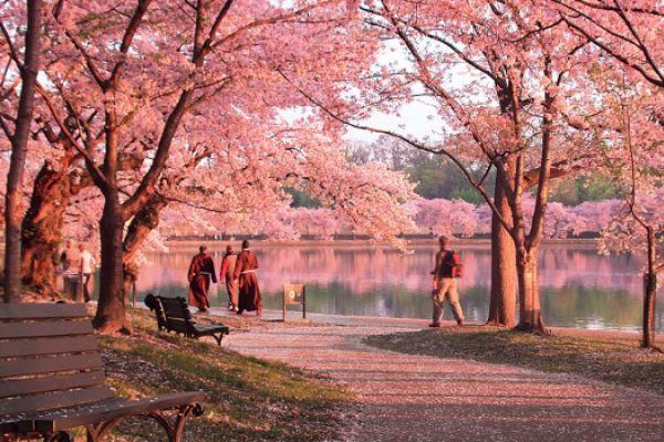 Musim gugur di Jepang Foto Sakura Banner